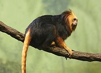 Golden-headed Lion Tamarin 095.jpg