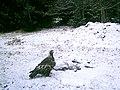 Golden Eagle at Grayson Highlands State Park (6917501087).jpg