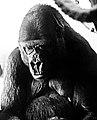 Gorilla (01).jpg