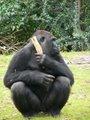 Gorilla gorilla gorilla9.jpg