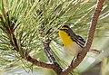 Grace's Warbler (33780015182).jpg