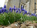Grape Hyacinths at All Saints Church, Odell - geograph.org.uk - 1842449.jpg