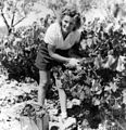 Grape picking at Hamilton's Vineyard.jpg