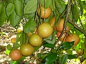 grape fruit by their fruits