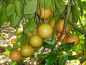 Grapefruit - Grapefruit growing in the grape-like clusters from which their name derives