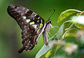 Graphium agamemnon (Tailed Jay).JPG
