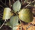 Graptophyllum pictum 04.JPG