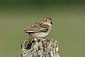 Grasshopper Sparrow.jpg