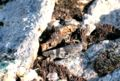 Grasshopper camouflage.jpg