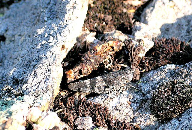https://upload.wikimedia.org/wikipedia/commons/thumb/c/c2/Grasshopper_camouflage.jpg/640px-Grasshopper_camouflage.jpg