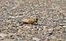 Grasshopper in Quesnel, BC (DSCF5221).jpg