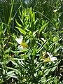 Gratiola officinalis sl5.jpg