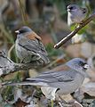 Gray-headed Junko From The Crossley ID Guide Eastern Birds.jpg