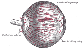 Long posterior ciliary arteries - The arteries of the choroid and iris. The greater part of the sclera has been removed.