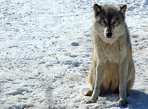 English: A captive Gray Wolf at the Wildlife S...