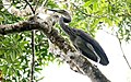 Great-billed Heron (Ardea sumatrana) (30535679873).jpg