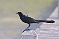 Great-tailed Grackle (6907343431).jpg