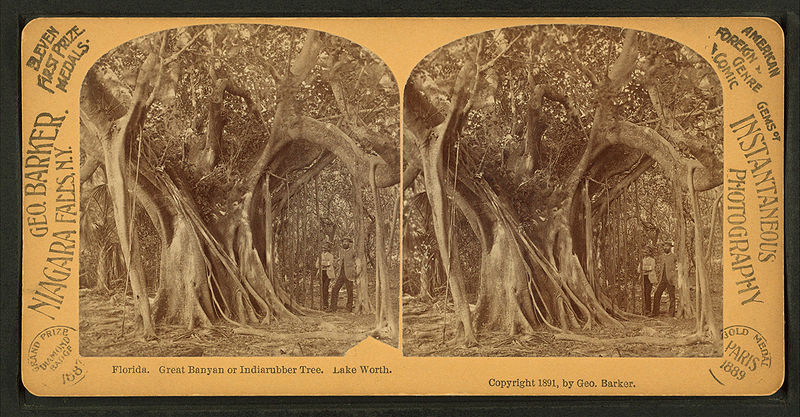 Archivo:Great Banyan or Indiarubber tree, Lake Worth, from Robert N. Dennis collection of stereoscopic views.jpg