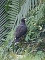Great Black Hawk (39947348595).jpg