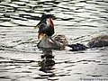 Great Crested Grebe With A Fish (70725315).jpeg