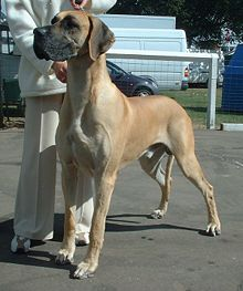Great Dane 600.jpg