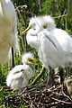Great Egret Chicks ( from April 2005 ) - Flickr - Andrea Westmoreland.jpg