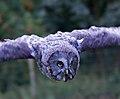 Great Grey Owl in flight 2 (6022480774).jpg