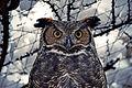 Great Horned Owl (8351146922).jpg