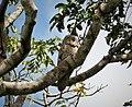 Great Potoo. Nyctibius grandis - Flickr - gailhampshire.jpg