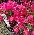 Great Swamp Greenhouse photos Bougainvillea Bush.JPG