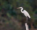Great White Egret in Dhamrai Beel.jpg