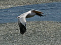 Great White Pelican SMTC.jpg