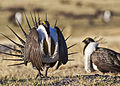 Greater Sage-Grouse Conservation (16759460184).jpg