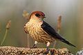 Greater Striped Swallow, Hirundo cucullata (syn. Cecropis cucullata), at Marievale Nature Reserve, Gauteng, South Africa (30469692476).jpg