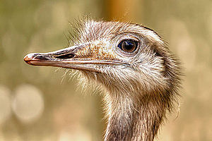 Rhea (bird) - Greater rhea head close up
