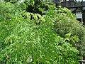 Green (Moringa oleifera).JPG