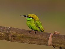 Green Bee-eater 2 HR.jpg