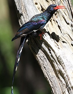 Green Wood Hoopoe, Phoeniculus purpureus, at Marakele National Park, Limpopo, South Africa (16340842701).jpg