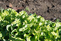Green lettuce showing tipburn after frost (8173473730).jpg