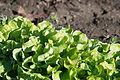 Green lettuce showing tipburn after frost (8173473730).jpg