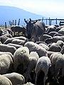 Gresse-en-Vercors moutons et âne (dans montée du Pas du Serpaton) 2.jpg