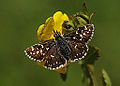 Grizzled Skipper - Pyrgus malvae.jpg