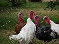 Group of turkeys by grass (Unsplash).jpg