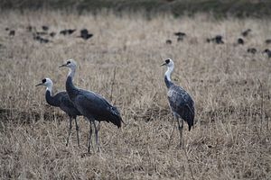 Hooded crane - Wintering in Kyushu, Japan