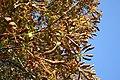 Guignardia aesculi leaf blotch tree.jpg