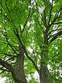 Gymnocladus dioicus Berlin Weinbergspark TP09.jpg