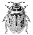 HEMI Cydnidae Choerocydnus nigrosignatus 1.png