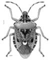 HEMI Pentatomidae Cermatulus nasalis turbotti.png