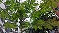 HK 上環 Sheung Wan 華里 Wa Lane Lascar Court tree October 2019 SS2 03.jpg