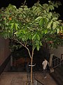 HK 上環 Sheung Wan night green plants 磅巷 Pound Lane November 2017 IX1 tree 大花紫薇 Lagerstroemia speciosa 01.jpg